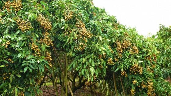 Bộ Nông nghiệp đang bàn chuyện tiêu thụ nhãn, chuối, tôm cua… cho miền Nam ảnh 1
