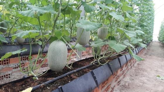 Tây Ninh phát triển nông nghiệp công nghệ cao hướng tới xuất khẩu ảnh 1