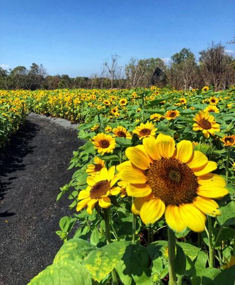 Check-in 60 ngàn hoa hướng dương & hàng trăm gốc mai ngày tết tại Thế giới khoáng nóng Minera ảnh 3