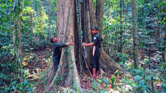 Nỗ lực giữ rừng giáng hương trăm tuổi ảnh 1