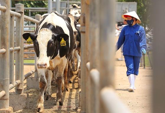 Vững đà tăng trưởng, TH true MILK đón đàn bò sữa cao sản nhập khẩu đầu tiên trong năm 2021 ảnh 2