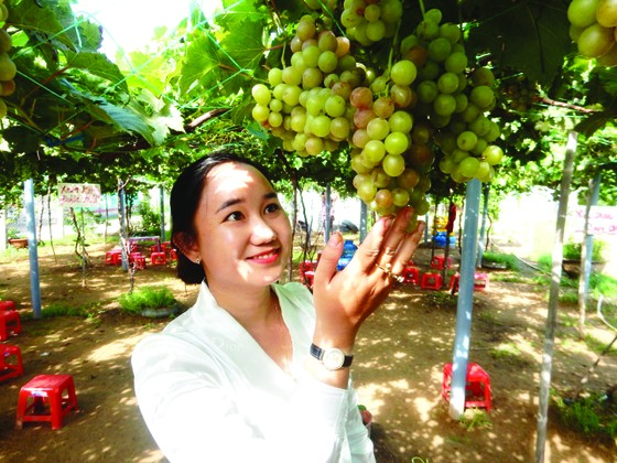Khởi nghiệp trồng nho ở xứ Dừa ảnh 1