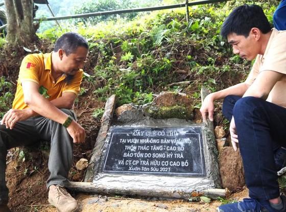 Bảo tồn cây chè cổ thụ tại vùng trà Cao Bồ, tỉnh Hà Giang ảnh 2