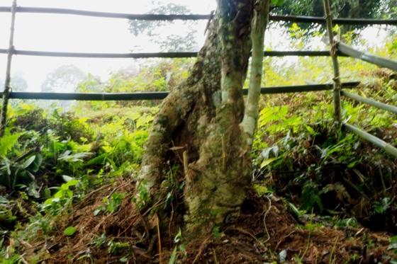 Bảo tồn cây chè cổ thụ tại vùng trà Cao Bồ, tỉnh Hà Giang ảnh 1