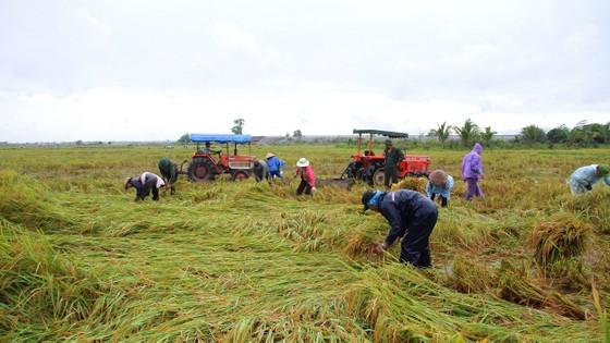 Miền Trung: Hàng ngàn hécta lúa chín bị ngập úng, hư hại ảnh 1