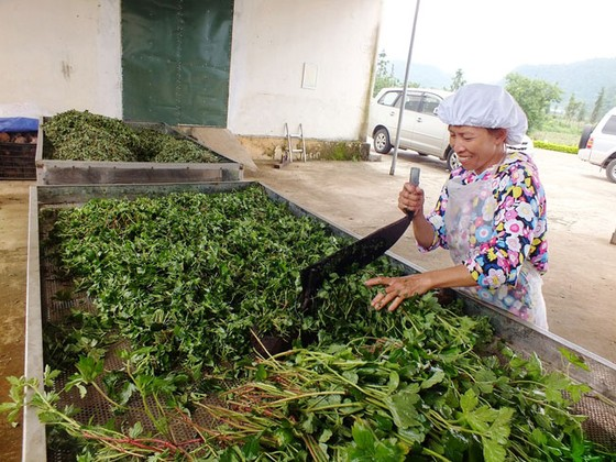 Bảo tồn và phát huy giá trị cây thuốc Việt - Bài 2: Xóa nghèo từ cây thuốc ảnh 1