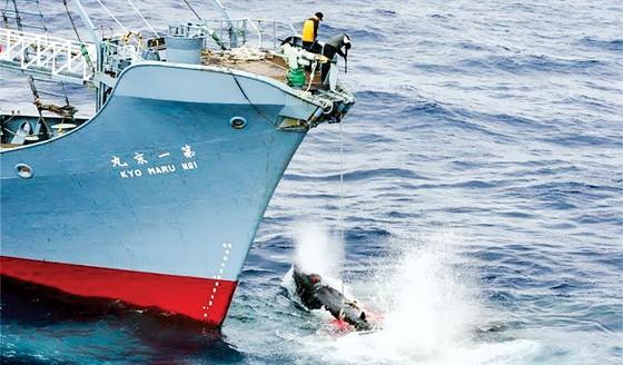 Nhật Bản nối lại hoạt động săn bắt cá voi ảnh 1