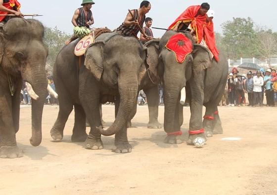 Đến xứ voi xem voi đá bóng ảnh 5