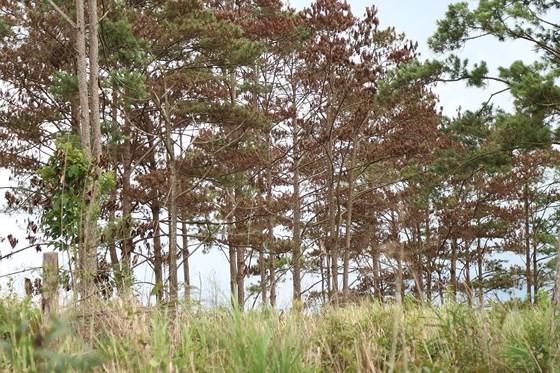 Rừng thông ở Lâm Đồng lại bị đầu độc, chết khô ảnh 6
