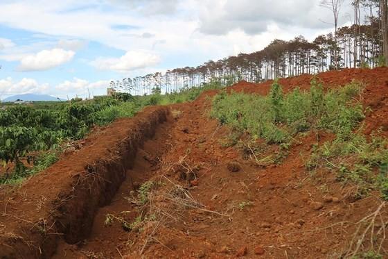 Rừng thông ở Lâm Đồng lại bị đầu độc, chết khô ảnh 12