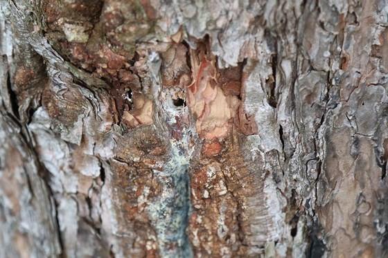 Rừng thông ở Lâm Đồng lại bị đầu độc, chết khô ảnh 4