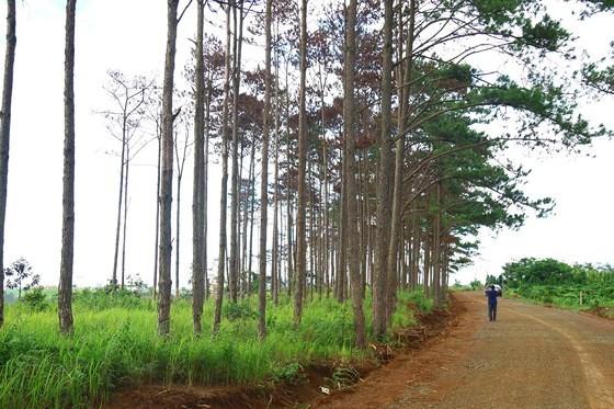 Rừng thông ở Lâm Đồng lại bị đầu độc, chết khô ảnh 8