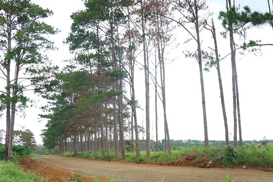 Rừng thông ở Lâm Đồng lại bị đầu độc, chết khô ảnh 7