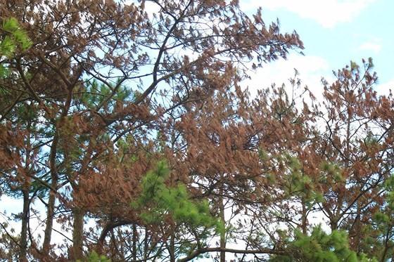 Rừng thông ở Lâm Đồng lại bị đầu độc, chết khô ảnh 5