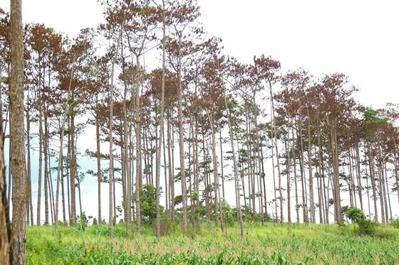 Rừng thông ở Lâm Đồng lại bị đầu độc, chết khô ảnh 3