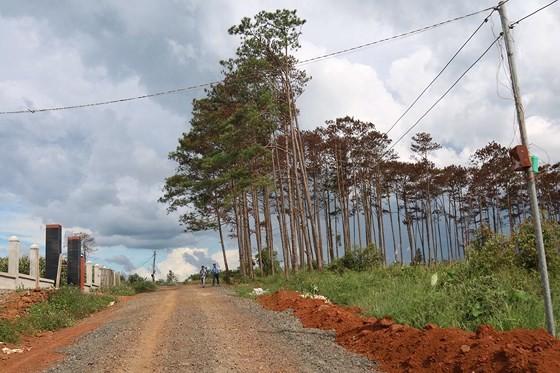 Rừng thông ở Lâm Đồng lại bị đầu độc, chết khô ảnh 2