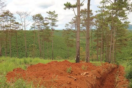 Rừng thông ở Lâm Đồng lại bị đầu độc, chết khô ảnh 13