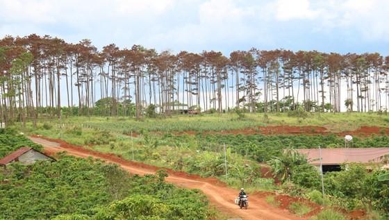 Rừng thông ở Lâm Đồng lại bị đầu độc, chết khô ảnh 14