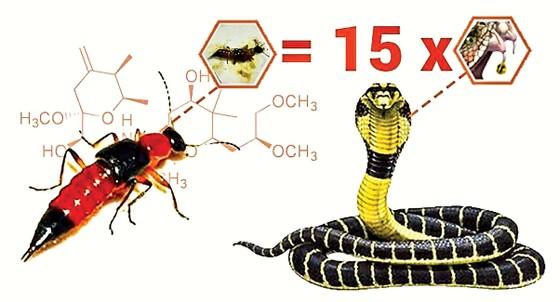 Cẩn trọng viêm da do kiến ba khoang ảnh 2