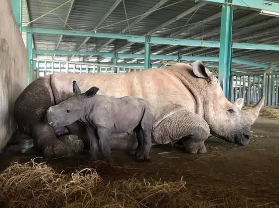Vinpearl Safari chào đón tê giác thứ 3 chào đời ảnh 1