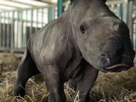 Vinpearl Safari chào đón tê giác thứ 3 chào đời ảnh 2