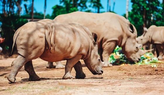 Vinpearl Safari chào đón tê giác thứ 3 chào đời ảnh 5