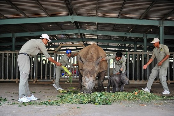 Vinpearl Safari chào đón tê giác thứ 3 chào đời ảnh 6