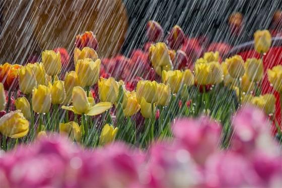 Thiên đường tulip hay điểm đến lý tưởng cho ngày Valentine và 8-3 ảnh 2