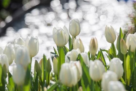 Thiên đường tulip hay điểm đến lý tưởng cho ngày Valentine và 8-3 ảnh 3