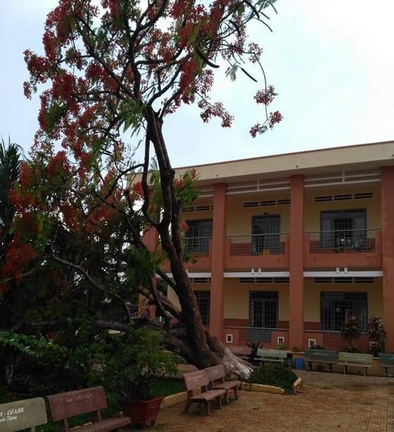 Cây phượng bật gốc trong sân trường tiểu học ở Đồng Nai ảnh 1