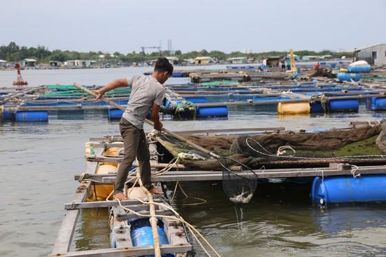 Cá lồng bè của 30 hộ nuôi chết hàng loạt, thiệt hại hơn 10 tỷ đồng ảnh 6