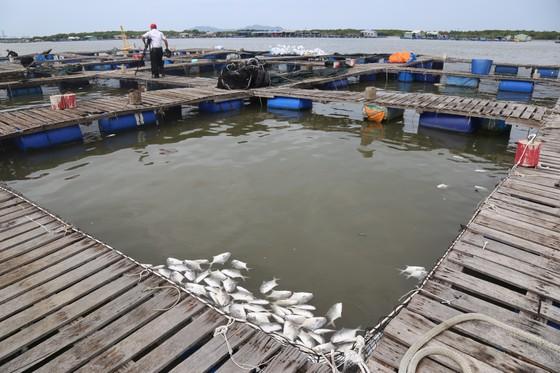 Cá lồng bè của 30 hộ nuôi chết hàng loạt, thiệt hại hơn 10 tỷ đồng ảnh 4