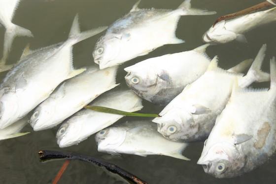 Cá lồng bè của 30 hộ nuôi chết hàng loạt, thiệt hại hơn 10 tỷ đồng ảnh 3