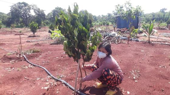 Vụ 500 cây ăn quả bị chặt phá ngang gốc: Huyện Xuyên Mộc có văn bản yêu cầu công an huyện vào cuộc ảnh 4