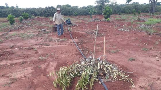 Vợ chồng nông dân khóc tức tưởi vì 500 cây ăn quả bị chặt phá ngang gốc ảnh 2