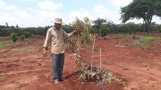 Vợ chồng nông dân khóc tức tưởi vì 500 cây ăn quả bị chặt phá ngang gốc ảnh 1
