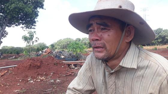 Vợ chồng nông dân khóc tức tưởi vì 500 cây ăn quả bị chặt phá ngang gốc ảnh 3
