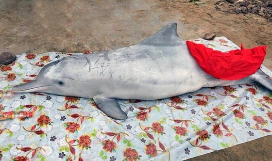 Cá ông và cá heo chết trôi dạt vào bờ biển ảnh 1