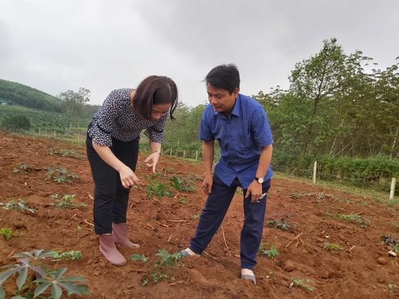 Hàng ngàn hecta khoai mì bị bệnh khảm lá ảnh 1
