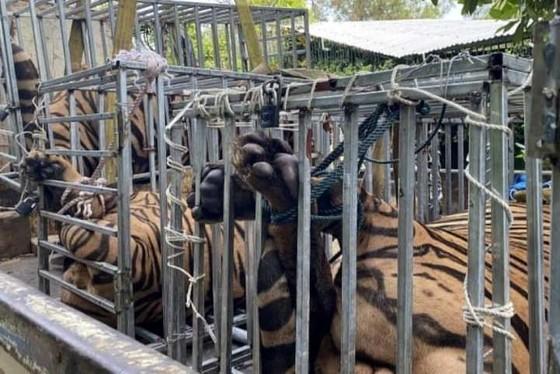 Phát hiện 17 con hổ nuôi nhốt trái phép trong nhà dân ở Nghệ An ảnh 1