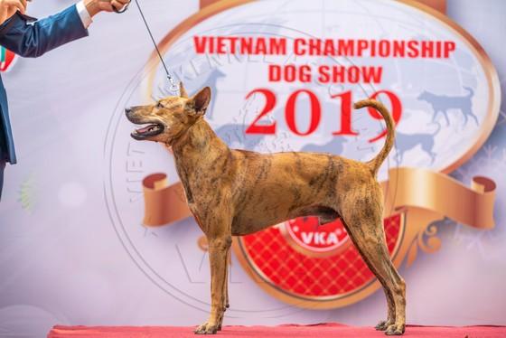 Hình ảnh chó xoáy Phú Quốc tại cuộc thi năm 2019.