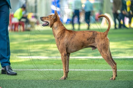Hơn 100 chú chó tham dự vô địch chó giống bản địa Việt Nam năm 2020, Hơn 100 chú chó tham dự vô địch chó giống bản địa Việt Nam năm 2020 ảnh 2