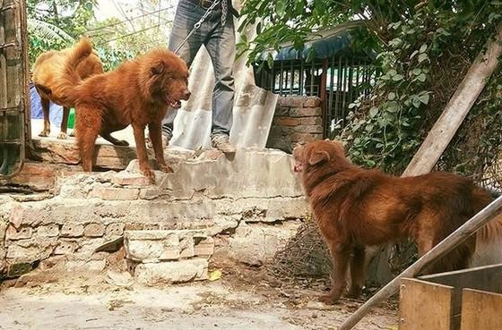 Hơn 100 chú chó tham dự vô địch chó giống bản địa Việt Nam năm 2020, Hơn 100 chú chó tham dự vô địch chó giống bản địa Việt Nam năm 2020 ảnh 3
