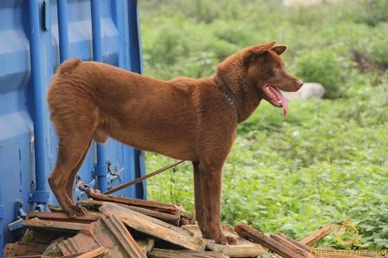 Hơn 100 chú chó tham dự vô địch chó giống bản địa Việt Nam năm 2020, Hơn 100 chú chó tham dự vô địch chó giống bản địa Việt Nam năm 2020 ảnh 4