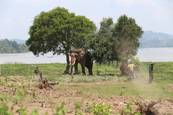 Đã khống chế được voi nhà động dục, quật nài voi tử vong ảnh 1