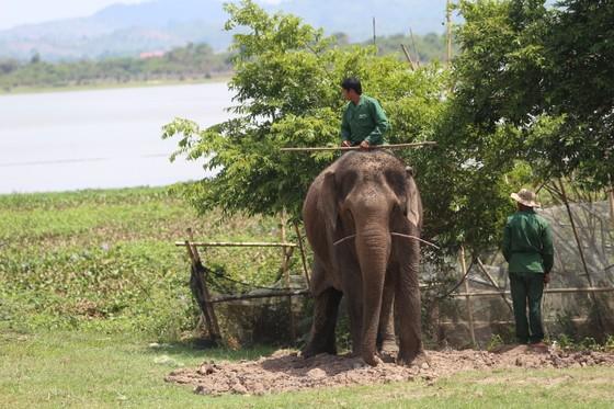 Đã khống chế được voi nhà động dục, quật nài voi tử vong ảnh 5