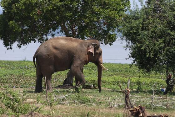 Đã khống chế được voi nhà động dục, quật nài voi tử vong ảnh 3
