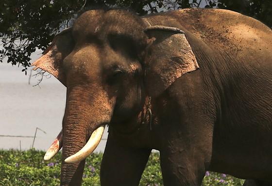 Đã khống chế được voi nhà động dục, quật nài voi tử vong ảnh 4