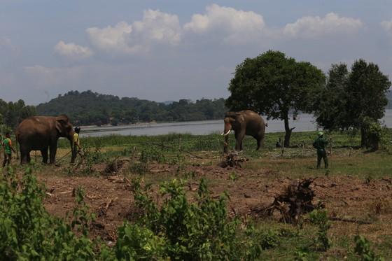 Đã khống chế được voi nhà động dục, quật nài voi tử vong ảnh 2