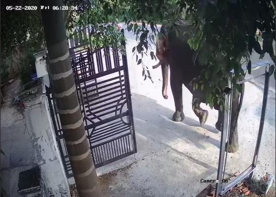 Đắk Lắk: Voi nhà động dục, quật nài voi tử vong ảnh 2